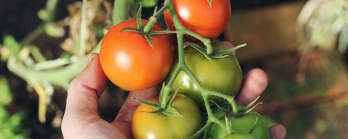 OGM y nuevas técnicas de selección vegetal