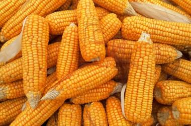 dati aggiornati sulla produzione di mais nel mondo